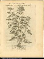 Valeriana Urticaefolia Flor. Viol.