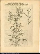 Hedysarum Triphyll. Canadense.
