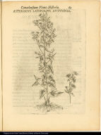 Asteriscus Latifolius Autumnal.