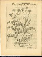 Centaurium Maius Luteum.