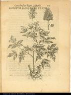 Aconitum Baccis Niveis et Rubris.
