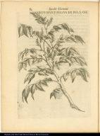 Rhamnus Myrtifolius ex ins. s. ch.