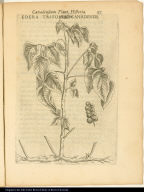 Edera Trifolia Canadensis.