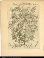 Edera Quinquefolia Canadensis.