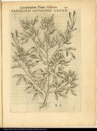 Trifolium Asphaltion Canad.