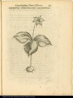 Solanum Triphyllum Canadense.