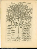 Acacia Americana Robini.