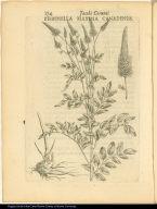Pimpinella Maxima Canadensis.