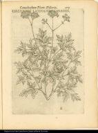 Cerefolium Latifolium Canaden.