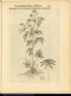 Aconitum Helianthemum Canad.
