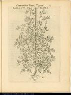 Faseolus Puniceo Flore.