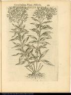Eupatoria Foliis Enulae.