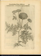 Angelica Lucida Canadensis.