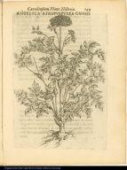 Angelica Atropurpurea Canad.