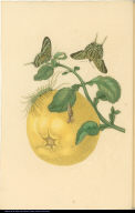 [Citrus fruit, caterpillar, chrysalis, and butterflies]