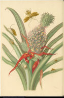 [Pineapple and insects]