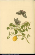 [Lime tree and insects]
