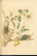[Guava tree, bird-eating spiders, and insects]