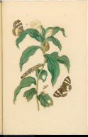 [Costus arabicus and insects]