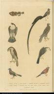 [Falcons, finches, and a fish]