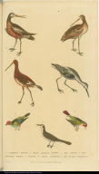 [Godwits and finches]