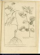[left] Algue Laguen Sideritidis folio magno, flore subcoeruleo. [right] Alkekengi Virginianum, fructu luteo, vulgo Capuli.