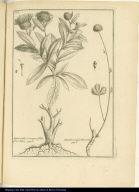 [left] Asteroides Conysae folio flore luteo. [right] Anisillo, vulgò Mouchu.
