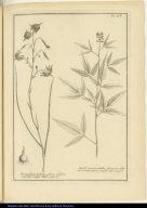 [left] Bermudiana bulbosa, flore reflexo caeruleo, vulgò Illum. [right] Barba Jovis triphilla, flore ex albo et caeruleo vario, vulgò Culen.