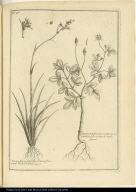 [left] Bermudiana Narcisso Leucoii flore, vulgò Thekel-Thekel. [right] Bidens trifolia Americana Leucanthemi flore Inst R. herb.