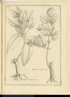 [left] Boigue Cinnamomifera, Oliva fructu [right] Boldu arbor Olivifera.