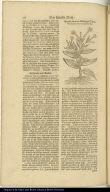 Grosser schmal-blättiger Tabac. Nicotiana major angustifolia.