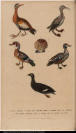 [Various ducks and a shell]