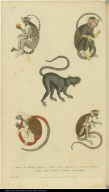 [Various monkeys and lemurs]