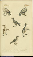[Pelicans, penguins, and petrels]