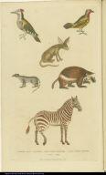 [Woodpeckers, zebra, wolverine, weasel, and zerda]