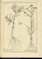 [left] Ficoides Peruviana, folio triangulari, amplo flore purpureo [right] Elichrysum Americanum latifolium, vulgò Vira-vira Ins. R. Herb.