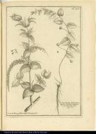 [left] Coriaria Rusci-folia, vulgò Deu [right] Convolvulus, folio Subrotundo, floribus solitariis e foliorum alis.