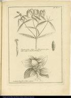 [top] Eupatorioides Salicis folio trinervi, flore luteo, vulgò Contrahierba [bottom] Gentianoides flore luteo