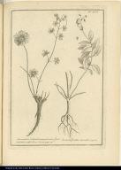 [left] Geranium columbinum perenne, flore purpureo, vulgò Core-Core [right] Gesnera floribus maculatis