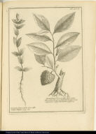 [left] Gratiola latiore folio, flore albo vulgò Hulgue [right] Guanabanus Perseae folio, flore intùs albo, exterùis [sic] virescente, fructu nigricante Squamato, vulgo cherimolia