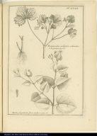 [top] Ranunculus palustris echinatus [bottom] Herba purgationis flore violaceo