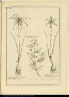 [left] Lilio-Narcissus, flore albicante, tubo praelongo. [center] Hediunda Jasminiano flore. [right] Lilio-Narcissus croceus, monanthos.