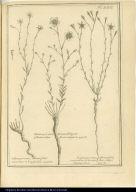 [left] Lilium perenne, album, foliis rarioribus et longioribus [center] Linum perenne, luteum Poligoni-folium, vulgo Nnancu-laguen. [right] Linum perenne, album, foliis rarioribus et brevioribus, vulgo Unnoperken.