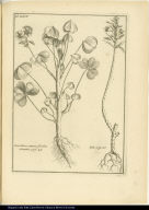 [left] Oxis lutea, annua, floribus dentatis. [right] Lun.