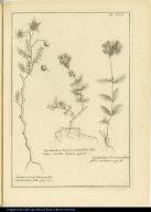 [left] Lycopersicum Pimpinellae Sanguisorbae folio. [center] Lychnidaea Verbenae tennifoliae folio vulgo Sandia Laguen. [right] Lychnidaea. Veronicae folio, floré coccineo.
