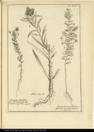 [left] Lysimachia Myrtifolia, flore albo, lineis incarnatis distincto, vulgò Vilu. [center] Madi. [right] Lysimachia Buxifolia, flore albo, lineis incarnatis distincto.