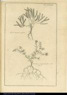 [top] Meru-Laguen. [bottom] Portulaca Sedi folio flore albo