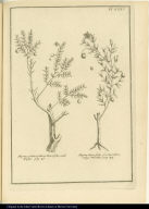 [left] Myrtus parasy-litica, Mari folio, vulò Hitigu. [right] Myrtus Buxi folio, fructu rubro, vulgò Mortilla.