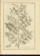 Nebu, Subrotondo Fraxini folio