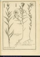 [left] Onagra Salicis angusto, dentatò que folio, vulgo Mithon. [center] Onagra Linarae folio, magno flore purpureo. [right] Onagra Hyssopi folia, flore amplo violaceo, vulgo Innil